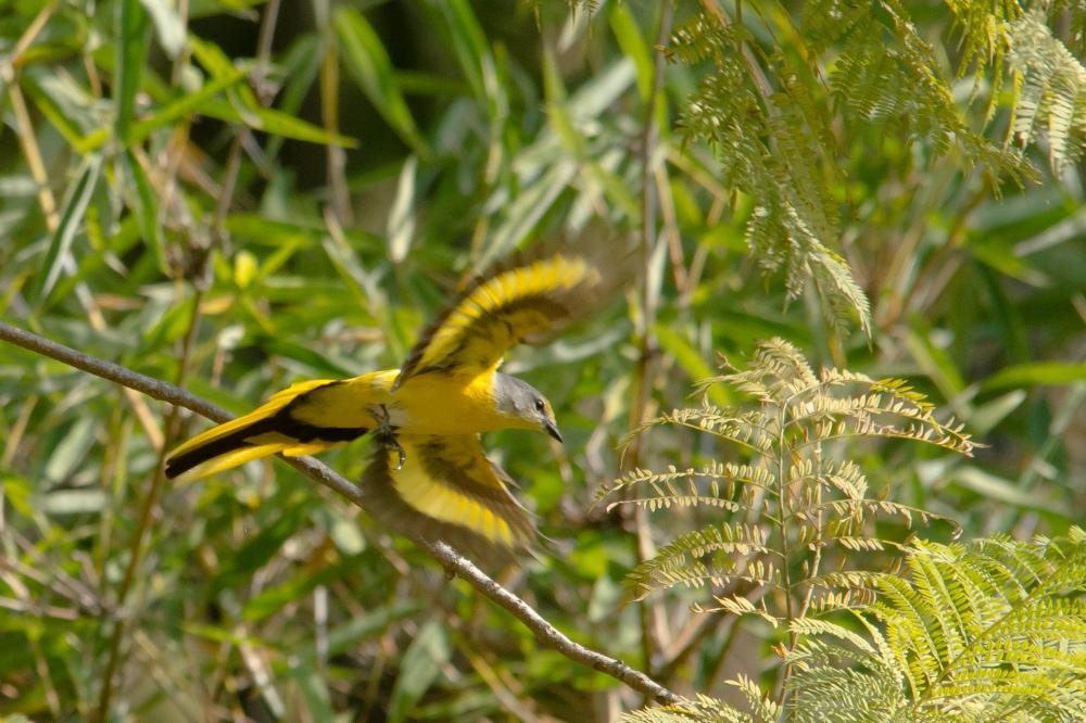 long tailed minivet in flight